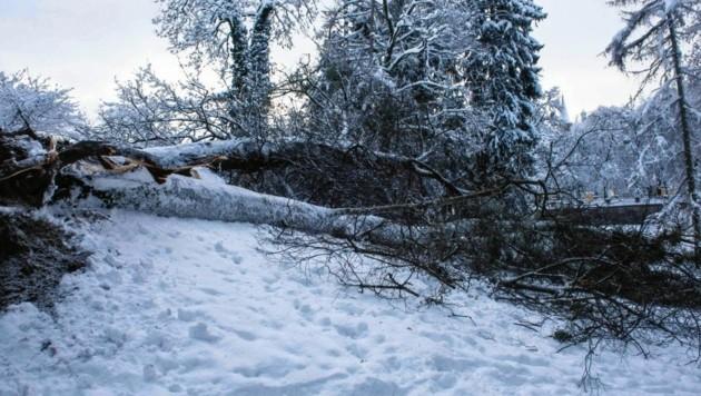 Im Kurgarten der Stadt Salzburg hielt diese Linde der Schneelast nicht mehr stand. (Bild: Stadt Salzburg)