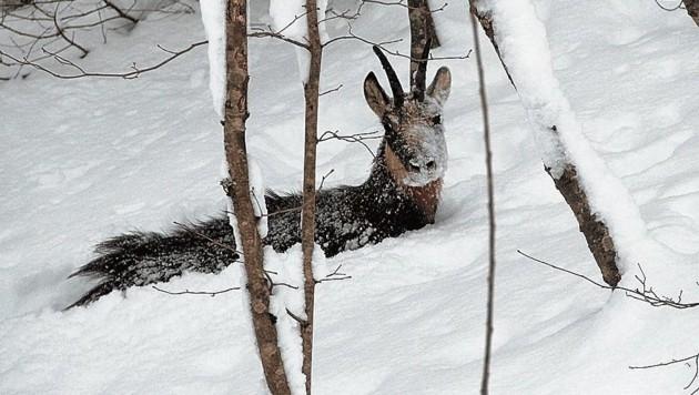 Eine Gams, hilflos versunken im Schnee, kommt nicht mehr vor noch zurück. Eine Tragödie! (Bild: Martin Prumetz)