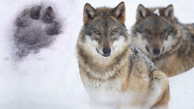Wölfe hinterließen nahe der Donau ihre Spuren. (Bild: stock.adobe.com, krone.at-Grafik)