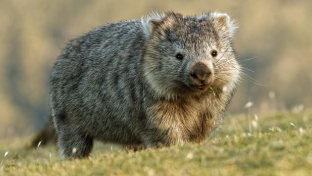 Wombat (Bild: ©phototrip.cz - stock.adobe.com)