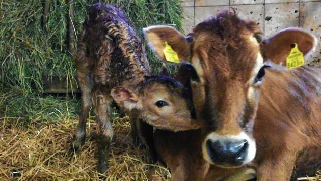 Jersey-Kühge liefern Heumilch (Bild: Biohof Kumer)