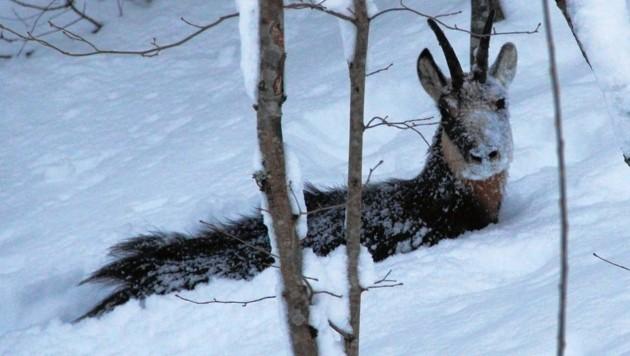 Dieser Winter setzt den Wildtieren in weiten Teilen der Steiermark heuer extrem zu und wird viele Opfer fordern. (Bild: Martin Prumetz)