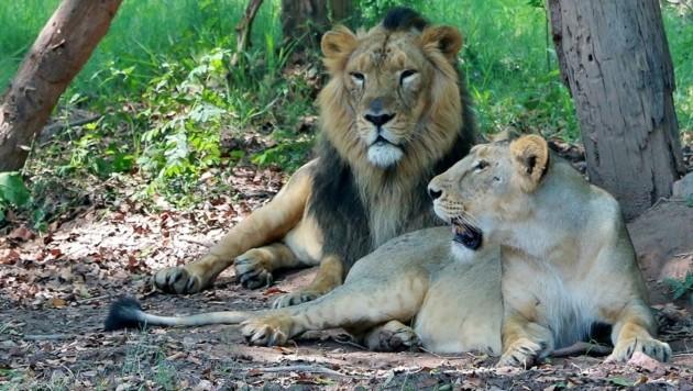 So werden die Asiatischen Löwen im Chhatbir-Zoo auf dessen Website präsentiert. (Bild: Screenshot chhatbirzoo.gov.in)