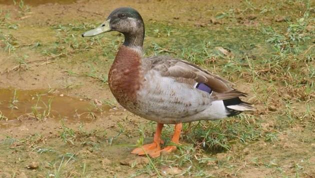 """""""Trevor"""", die einsame Ente von Niue, ist tot. (Bild: AFP)"""