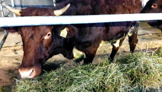 Zwei Rinder konnten gerettet werden. (Bild: LPB)