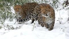 """Die Leoparden-Zwillinge """"Inga"""" und """"Baikal"""" im Schnee (Bild: APA/JOSEF GELERNTER)"""