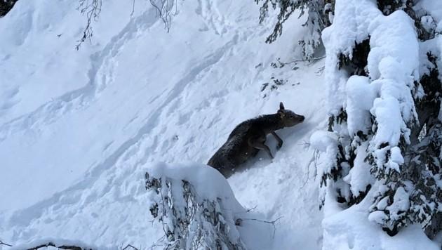 Flucht vor dem Schnee und auf Futtersuche: Der Überlebenskampf des Wildes in Steilhängen (Bild: Max Kamolz)