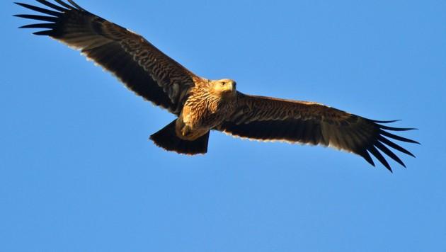 Großvögel bringen viel Geld am Schwarzmarkt. (Bild: Richard Katzinger)