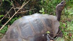 Eine Riesenschildkröte auf den Galapagosinseln (Bild: AFP)