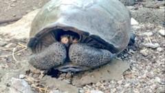 Das auf Galapagos entdeckte Exemplar der ausgestorben geglaubten Art Chelonoidis phantasticus (Bild: twitter.com)