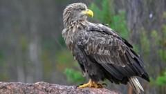 Höhenflug für den Seeadler: Erfreuliche Bestandszahlen wurden am Freitag vom WWF präsentiert. (Bild: Jari Peltomaki, P.O.Box 42, FIN-91901 LIMINKA, jari.peltomaki(at)lintukuva.fi,+358-(0)40-5919120)