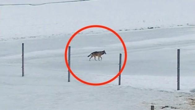 Der Wolf auf einem Feld (Bild: Tatjana Jank)