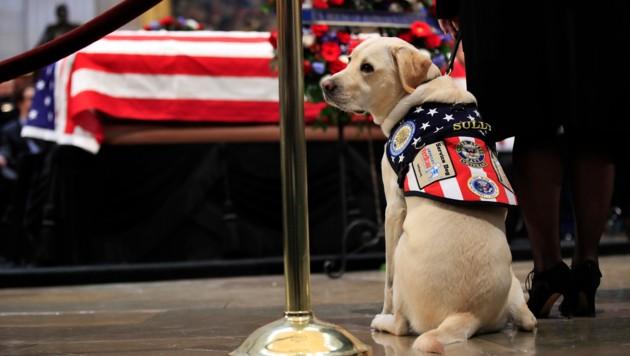 Der ehemalige Assistenzhund von George Bush hilft nun Veteranen. (Bild: AP)