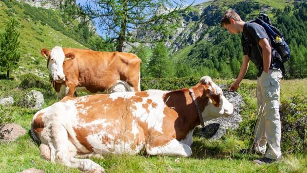 Wieder Zwischenfall mit einer Kuh (Bild: EXPA Pictures, Johann Groder)