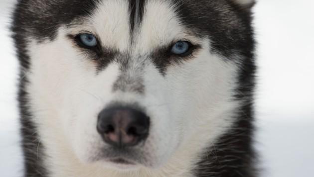 Husky (Symbolbild) (Bild: AFP)