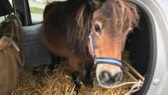 """Pony """"Nelke"""" wurde im Fiat Punto transportiert - und durfte weiterfahren. (Bild: Polizei OÖ)"""