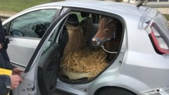 Das Pony wurde im Kofferraum des Fiat Punto transportiert (Bild: Polizei OÖ)
