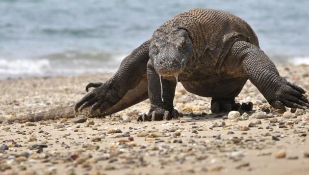 Ein Komodowaran auf Nahrungssuche (Bild: AFP)