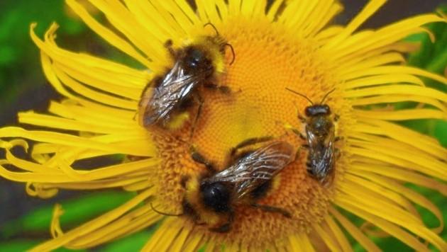 Jeder kann dazu beitragen, dass Hummeln, Bienen & Insekten in seinem Umfeld Nahrung finden! (Bild: Naturschutzbund Steiermark/Gepp)