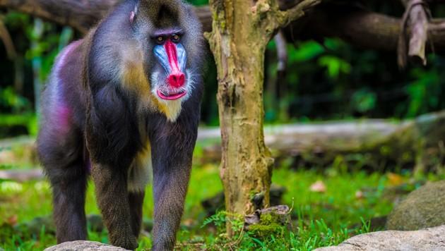 Auffällig geschmückte Affen wie etwa der Mandrill haben eher kleine Hoden. (Bild: stock.adobe.com, krone.at-Grafik)
