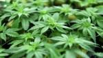 """Die Pflanzen wuchsen in einem """"Growing Tent"""", ein Zelt speziell für den Anbau von Cannabis. (Bild: APA/Helmut Fohringer)"""