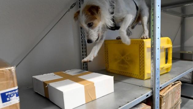 Zoll-Spürhunde waren bei der Aktion im Einsatz. (Symbolbild) (Bild: APA/dpa/Carsten Rehder)