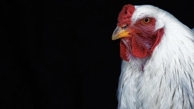 Symbolbild: Die Seidenhühner sind weg (Bild: ANDREAS TROESTER)