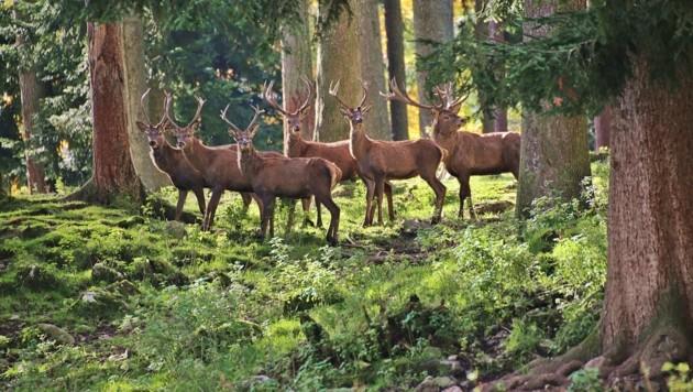 Tierschützer fürchten, dass Rotwild im Bezirk Braunau ganz verschwinden könnte.(Symbolbild) (Bild: Marion Hörmandinger)