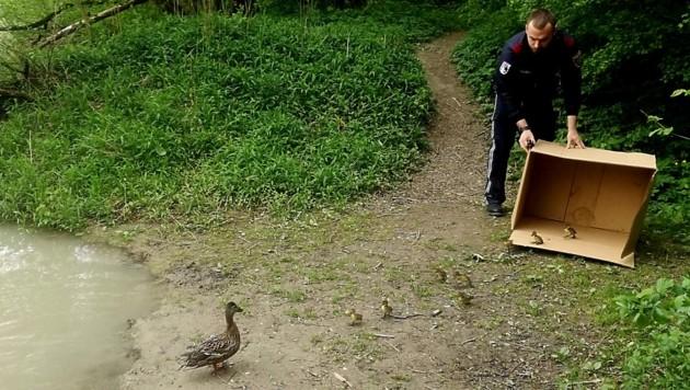 Nach der gelungenen Rettung wird die Entenfamilie an der Steyr frei gelassen (Bild: Polizei OÖ)