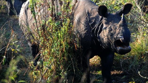 Ein Nashorn im Chitwan-Nationalpark (Bild: AFP)