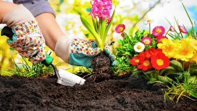 Die steirischen Gärtner haben die Blume des Jahres gewählt (Symbolbild) (Bild: stock.adobe.com/Raths)