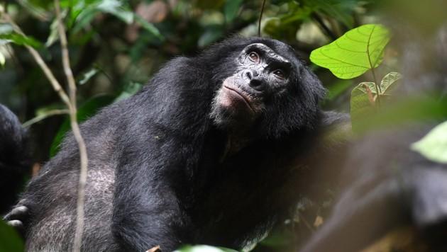 Erwachsener männlicher Bonobo in einem Reservat im Kongo (Bild: © Martin Surbeck, Kokolopori Bonobo Research)