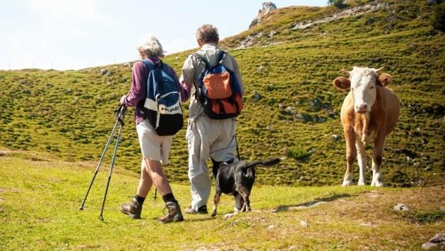 Für Kühe stellen Hunde oft eine Bedrohung dar - beim Wandern sollten Sie daher einige Regeln beachten. (Bild: Neyya)