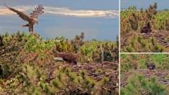 Angebrachte Kameras ermöglichen einen Einblick ins Leben von Familie Seeadler. (Bild: www.pannatura.at)