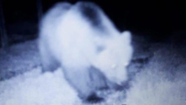 Dieser Bär tappte vor die Linse einer Wildkamera. (Bild: Zoom.Tirol)