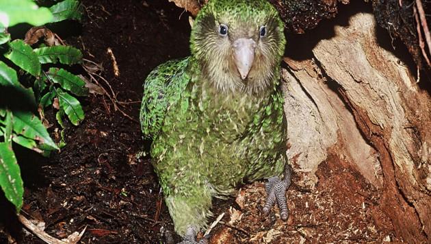 Erstmals wieder 200 Exemplare des Kakapo-Papageis