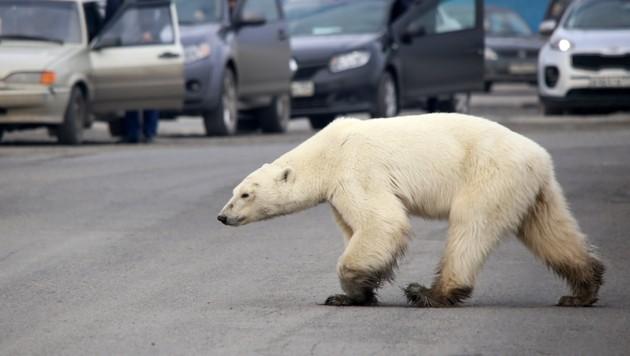Bild der Klimakrise: Ein Eisbär, der Nahrung in Dörfern sucht. (Bild: AFP/Zapolyarnaya Pravda Newspaper/Irina Yarinskaya)