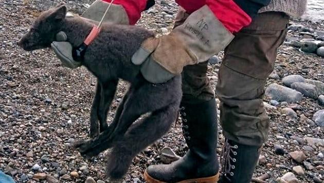 Dieser Polarfuchs lief in nur 76 Tagen von Spitzbergen nach Kanada. (Bild: AP/Norwegian Polar Institute)