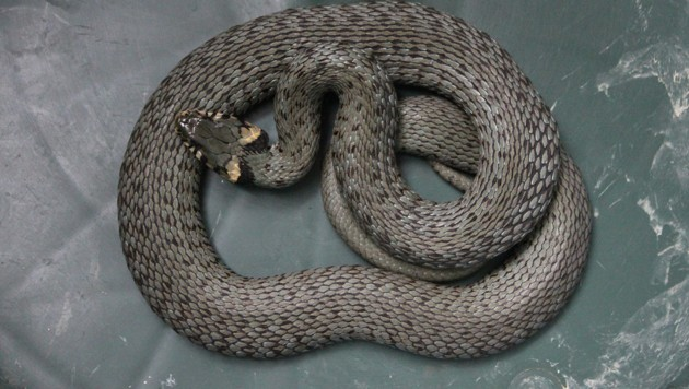 Bei der Schlange handelte es sich um eine ungiftige Ringelnatter (Bild: Esterbauer)