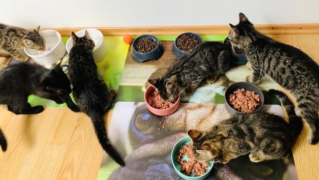 """Um viele kleine Schmusetiger müssen sich die Helfer von """"Wir fürs Tier"""" kümmern. Zurzeit gibt es eine regelrechte Flut an Katzenbabys. (Bild: Wir fürs Tier)"""