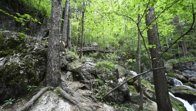 Der heimische Wald wird sich durch den Klimawandel verändern. (Bild: APA/ROBERT JAEGER)