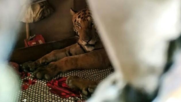Dem Tiger schien es nicht zu gefallen, in seiner Nachtruhe gestört zu werden.