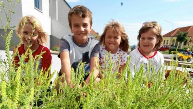 Ambrosia oder Ragweed ist die gefährlichste Allergie-Pflanze. Kinder sollte man unbedingt davon fernhalten. (Bild: Judt)
