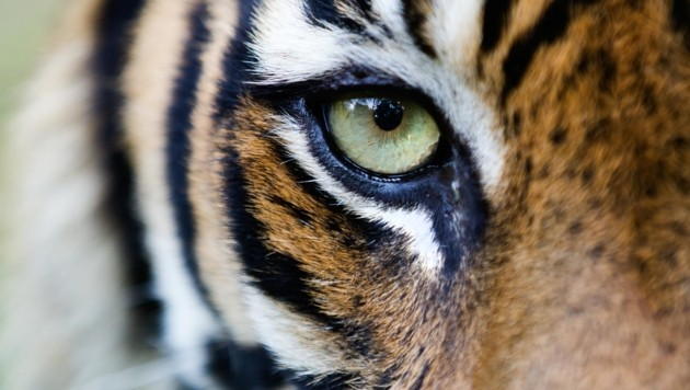Ein seltener Sumatra-Tiger (Bild: © Paul Hilton / Greenpeace)