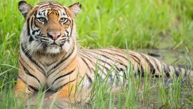 Ein Sumatra-Tiger (Bild: Paul Hilton/Greenpeace)