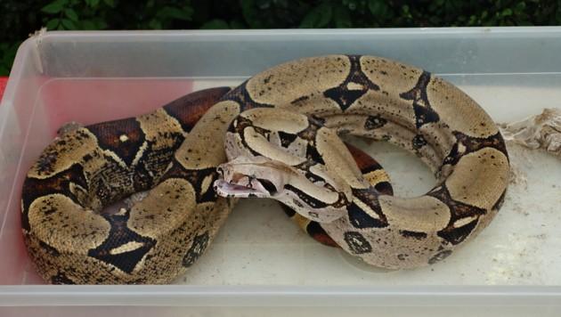 Die Boa constrictor ist sehr aggressiv und wird jetzt im Reptilienzoo Happ versorgt. (Bild: Helga Happ)