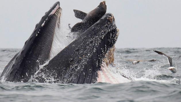 Der US-Fotograf Chase Dekker schoss das Bild seines Lebens. (Bild: AFP)