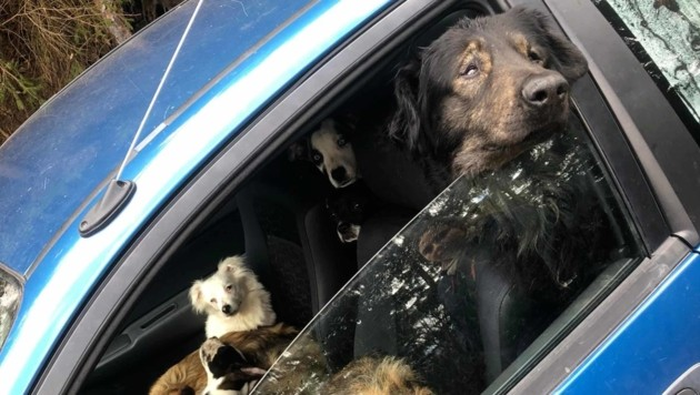 Die Ebersteinerin wollte die Hunde vor dem Amtstierarzt verstecken. (Bild: Tiko Klagenfurt)