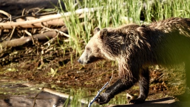 Grizzlybär im Yellowstone-Nationalpark (Bild: Jack J.)
