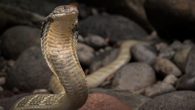 Kobra (Bild: stock.adobe.com)
